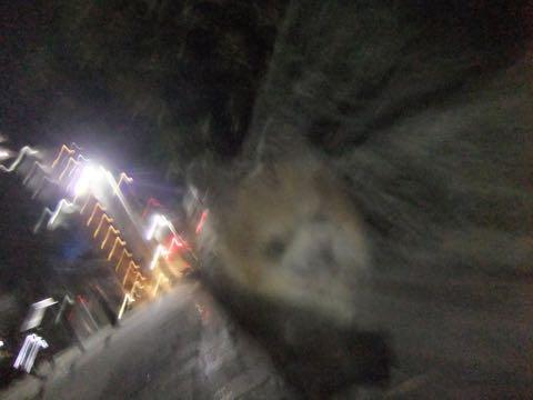 チワワトリミング文京区フントヒュッテチワワサマーカット画像ペットホテル東京ドッグホテル様子おさんぽ犬ホテル料金hundehutte駒込_173.jpg