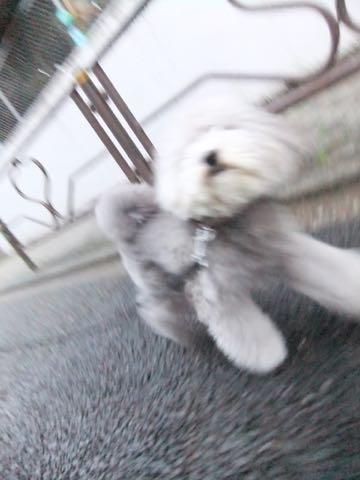 トイプードルトリミング都内フントヒュッテ駒込トイプーカット画像文京区犬歯磨き歯垢歯石除去ゼオライトデンタルケア東京ペットホテル犬ハーブパック効果_265.jpg