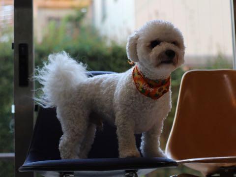 ビションフリーゼトリミングフントヒュッテビションカットスタイルモデル犬画像ビションフリーゼトリミングサロン東京ビションhundehutteビションベアカット_63.jpg