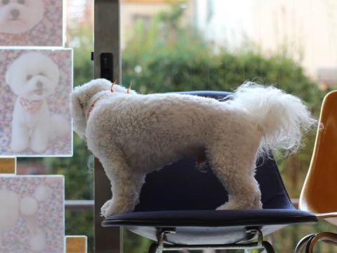 ビションフリーゼトリミングフントヒュッテビションカットスタイルモデル犬画像ビションフリーゼトリミングサロン東京ビションhundehutteビションベアカット_64.jpg