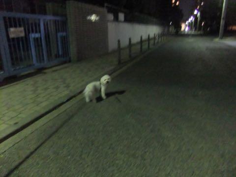ビションフリーゼトリミングフントヒュッテビションカットスタイルモデル犬画像ビションフリーゼトリミングサロン東京ビションhundehutteビションベアカット_65.jpg