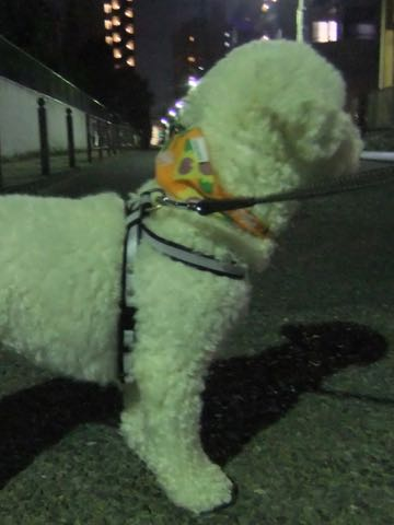 ビションフリーゼトリミングフントヒュッテビションカットスタイルモデル犬画像ビションフリーゼトリミングサロン東京ビションhundehutteビションベアカット_67.jpg