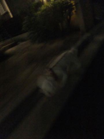 ビションフリーゼトリミングフントヒュッテビションカットスタイルモデル犬画像ビションフリーゼトリミングサロン東京ビションhundehutteビションベアカット_69.jpg