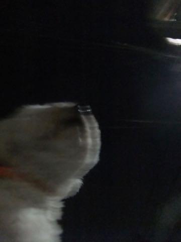 ビションフリーゼトリミングフントヒュッテビションカットスタイルモデル犬画像ビションフリーゼトリミングサロン東京ビションhundehutteビションベアカット_70.jpg