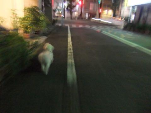 ビションフリーゼトリミングフントヒュッテビションカットスタイルモデル犬画像ビションフリーゼトリミングサロン東京ビションhundehutteビションベアカット_76.jpg