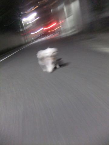 ビションフリーゼトリミングフントヒュッテビションカットスタイルモデル犬画像ビションフリーゼトリミングサロン東京ビションhundehutteビションベアカット_78.jpg