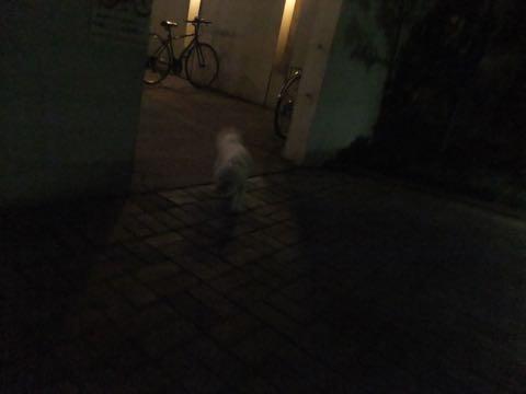 ビションフリーゼトリミングフントヒュッテビションカットスタイルモデル犬画像ビションフリーゼトリミングサロン東京ビションhundehutteビションベアカット_82.jpg