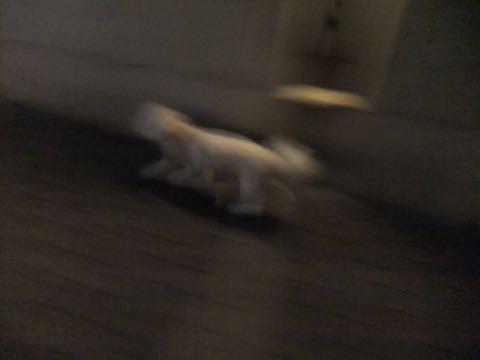 ビションフリーゼトリミングフントヒュッテビションカットスタイルモデル犬画像ビションフリーゼトリミングサロン東京ビションhundehutteビションベアカット_83.jpg