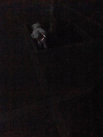 ビションフリーゼトリミングフントヒュッテビションカットスタイルモデル犬画像ビションフリーゼトリミングサロン東京ビションhundehutteビションベアカット_84.jpg