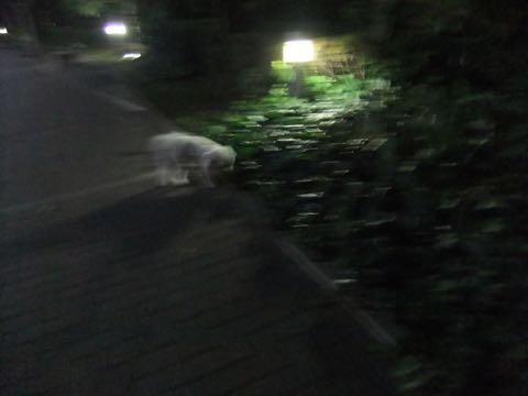 ビションフリーゼトリミングフントヒュッテビションカットスタイルモデル犬画像ビションフリーゼトリミングサロン東京ビションhundehutteビションベアカット_85.jpg