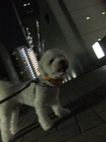 ビションフリーゼトリミングフントヒュッテビションカットスタイルモデル犬画像ビションフリーゼトリミングサロン東京ビションhundehutteビションベアカット_86.jpg