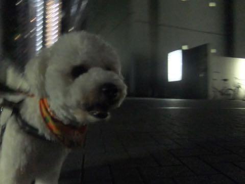 ビションフリーゼトリミングフントヒュッテビションカットスタイルモデル犬画像ビションフリーゼトリミングサロン東京ビションhundehutteビションベアカット_87.jpg