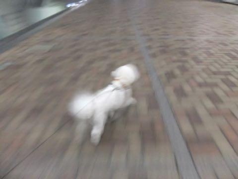 ビションフリーゼトリミングフントヒュッテビションカットスタイルモデル犬画像ビションフリーゼトリミングサロン東京ビションhundehutteビションベアカット_88.jpg