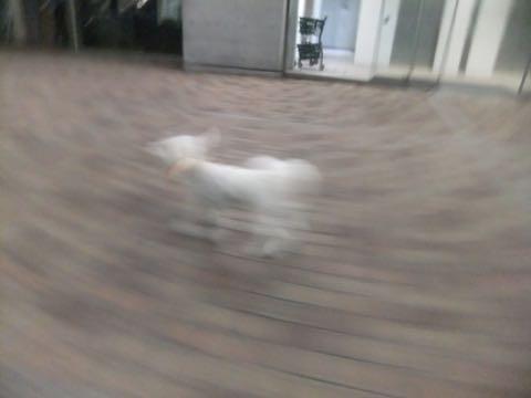 ビションフリーゼトリミングフントヒュッテビションカットスタイルモデル犬画像ビションフリーゼトリミングサロン東京ビションhundehutteビションベアカット_89.jpg