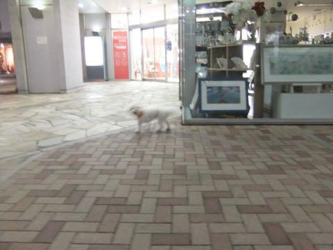 ビションフリーゼトリミングフントヒュッテビションカットスタイルモデル犬画像ビションフリーゼトリミングサロン東京ビションhundehutteビションベアカット_90.jpg