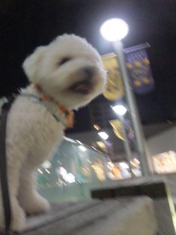 ビションフリーゼトリミングフントヒュッテビションカットスタイルモデル犬画像ビションフリーゼトリミングサロン東京ビションhundehutteビションベアカット_92.jpg