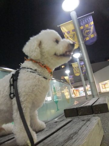 ビションフリーゼトリミングフントヒュッテビションカットスタイルモデル犬画像ビションフリーゼトリミングサロン東京ビションhundehutteビションベアカット_93.jpg