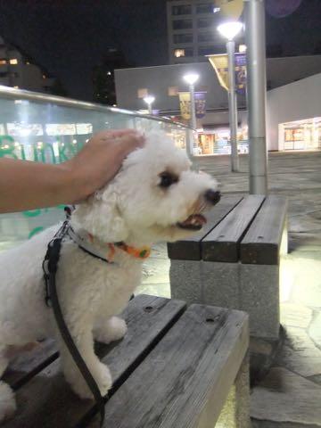ビションフリーゼトリミングフントヒュッテビションカットスタイルモデル犬画像ビションフリーゼトリミングサロン東京ビションhundehutteビションベアカット_96.jpg