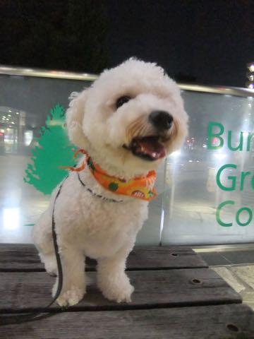 ビションフリーゼトリミングフントヒュッテビションカットスタイルモデル犬画像ビションフリーゼトリミングサロン東京ビションhundehutteビションベアカット_97.jpg