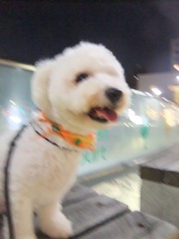 ビションフリーゼトリミングフントヒュッテビションカットスタイルモデル犬画像ビションフリーゼトリミングサロン東京ビションhundehutteビションベアカット_98.jpg