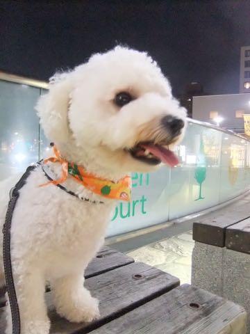 ビションフリーゼトリミングフントヒュッテビションカットスタイルモデル犬画像ビションフリーゼトリミングサロン東京ビションhundehutteビションベアカット_99.jpg