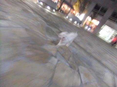 ビションフリーゼトリミングフントヒュッテビションカットスタイルモデル犬画像ビションフリーゼトリミングサロン東京ビションhundehutteビションベアカット_100.jpg