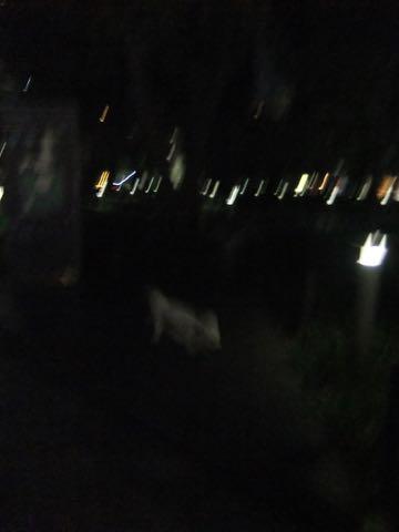 ビションフリーゼトリミングフントヒュッテビションカットスタイルモデル犬画像ビションフリーゼトリミングサロン東京ビションhundehutteビションベアカット_104.jpg
