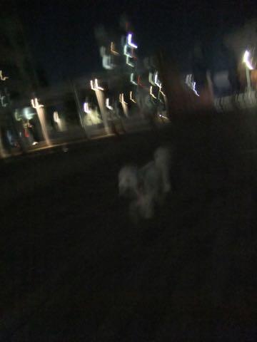 ビションフリーゼトリミングフントヒュッテビションカットスタイルモデル犬画像ビションフリーゼトリミングサロン東京ビションhundehutteビションベアカット_106.jpg