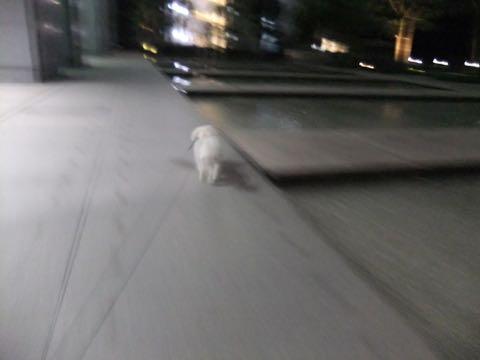 ビションフリーゼトリミングフントヒュッテビションカットスタイルモデル犬画像ビションフリーゼトリミングサロン東京ビションhundehutteビションベアカット_107.jpg