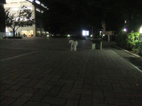 ビションフリーゼトリミングフントヒュッテビションカットスタイルモデル犬画像ビションフリーゼトリミングサロン東京ビションhundehutteビションベアカット_109.jpg