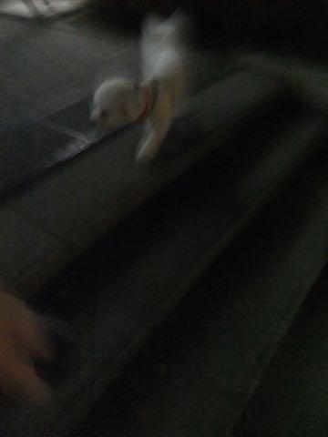 ビションフリーゼトリミングフントヒュッテビションカットスタイルモデル犬画像ビションフリーゼトリミングサロン東京ビションhundehutteビションベアカット_110.jpg