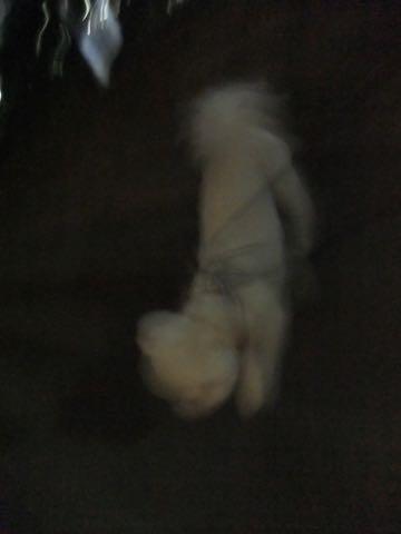 ビションフリーゼトリミングフントヒュッテビションカットスタイルモデル犬画像ビションフリーゼトリミングサロン東京ビションhundehutteビションベアカット_111.jpg