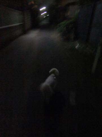 ビションフリーゼトリミングフントヒュッテビションカットスタイルモデル犬画像ビションフリーゼトリミングサロン東京ビションhundehutteビションベアカット_112.jpg