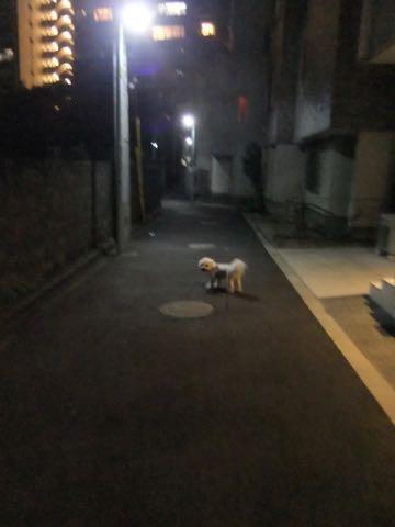 ビションフリーゼトリミングフントヒュッテビションカットスタイルモデル犬画像ビションフリーゼトリミングサロン東京ビションhundehutteビションベアカット_113.jpg