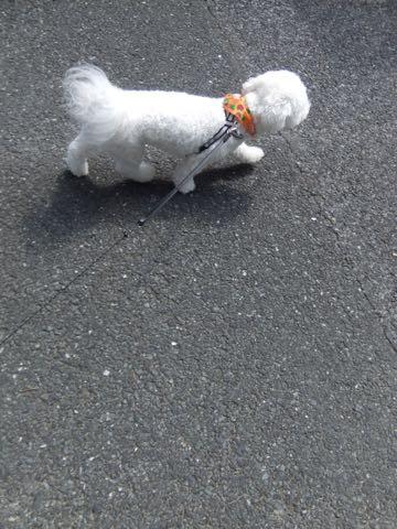 ビションフリーゼトリミングフントヒュッテビションカットスタイルモデル犬画像ビションフリーゼトリミングサロン東京ビションhundehutteビションベアカット_115.jpg