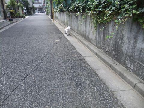 ビションフリーゼトリミングフントヒュッテビションカットスタイルモデル犬画像ビションフリーゼトリミングサロン東京ビションhundehutteビションベアカット_116.jpg