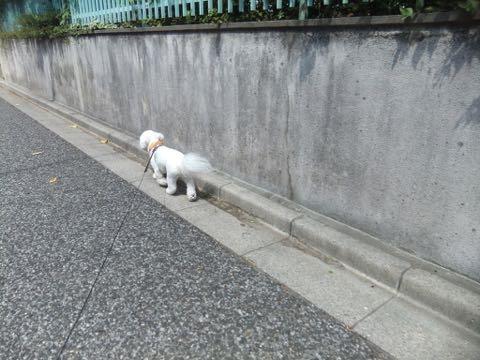 ビションフリーゼトリミングフントヒュッテビションカットスタイルモデル犬画像ビションフリーゼトリミングサロン東京ビションhundehutteビションベアカット_117.jpg