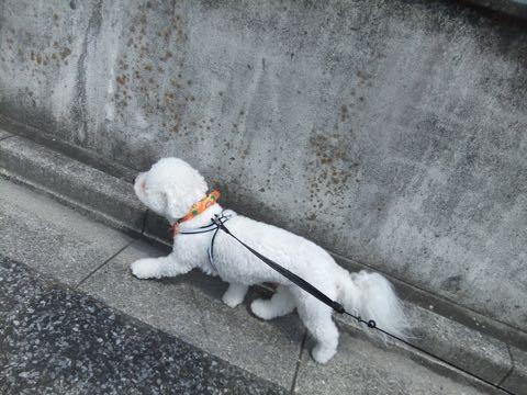 ビションフリーゼトリミングフントヒュッテビションカットスタイルモデル犬画像ビションフリーゼトリミングサロン東京ビションhundehutteビションベアカット_118.jpg