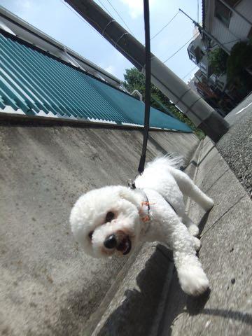 ビションフリーゼトリミングフントヒュッテビションカットスタイルモデル犬画像ビションフリーゼトリミングサロン東京ビションhundehutteビションベアカット_119.jpg