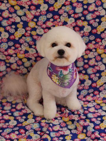 ビションフリーゼトリミングフントヒュッテビションカットスタイルモデル犬画像ビションフリーゼトリミングサロン東京ビションhundehutteビションベアカット_121.jpg