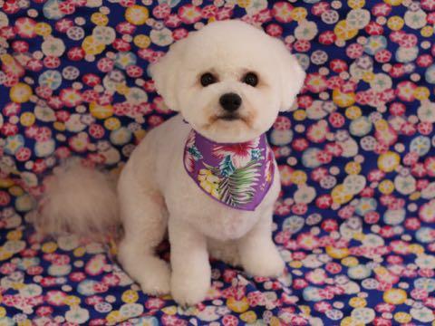 ビションフリーゼトリミングフントヒュッテビションカットスタイルモデル犬画像ビションフリーゼトリミングサロン東京ビションhundehutteビションベアカット_122.jpg