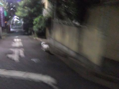 ビションフリーゼトリミングフントヒュッテビションカットスタイルモデル犬画像ビションフリーゼトリミングサロン東京ビションhundehutteビションベアカット_125.jpg