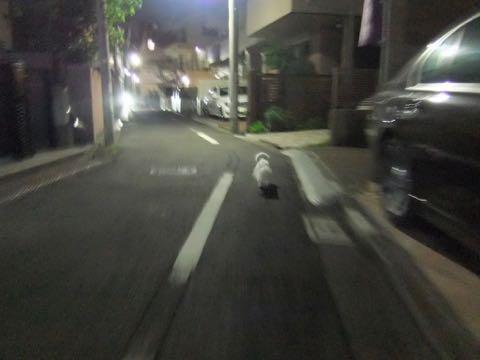 ビションフリーゼトリミングフントヒュッテビションカットスタイルモデル犬画像ビションフリーゼトリミングサロン東京ビションhundehutteビションベアカット_126.jpg