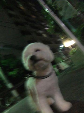 ビションフリーゼトリミングフントヒュッテビションカットスタイルモデル犬画像ビションフリーゼトリミングサロン東京ビションhundehutteビションベアカット_128.jpg