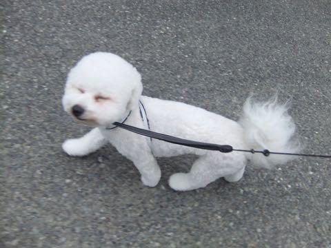 ビションフリーゼトリミングフントヒュッテビションカットスタイルモデル犬画像ビションフリーゼトリミングサロン東京ビションhundehutteビションベアカット_132.jpg
