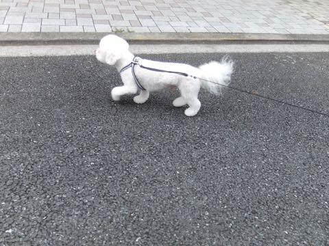 ビションフリーゼトリミングフントヒュッテビションカットスタイルモデル犬画像ビションフリーゼトリミングサロン東京ビションhundehutteビションベアカット_133.jpg