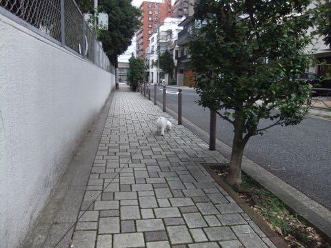 ビションフリーゼトリミングフントヒュッテビションカットスタイルモデル犬画像ビションフリーゼトリミングサロン東京ビションhundehutteビションベアカット_134.jpg