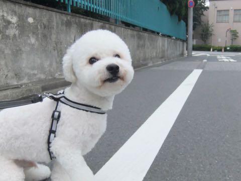ビションフリーゼトリミングフントヒュッテビションカットスタイルモデル犬画像ビションフリーゼトリミングサロン東京ビションhundehutteビションベアカット_135.jpg