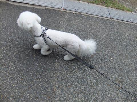 ビションフリーゼトリミングフントヒュッテビションカットスタイルモデル犬画像ビションフリーゼトリミングサロン東京ビションhundehutteビションベアカット_137.jpg