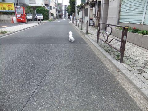 ビションフリーゼトリミングフントヒュッテビションカットスタイルモデル犬画像ビションフリーゼトリミングサロン東京ビションhundehutteビションベアカット_138.jpg